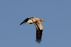 Egyptian-vulture-in-flight-Lake-Ghoubet-beach-W-of-Dijbouti-City-Djibouti-2014-May-a4-cropped