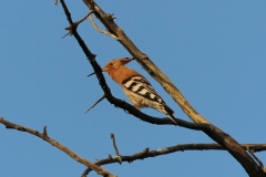 Eurasian-Hoopoe-Day-Forest-Djibouti-2016-Feb-a3-cropped