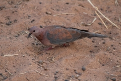 Laughing-dove-DECON-sanctuary-S-of-Camp-Lemonier-Djibouti-2014-May-b1