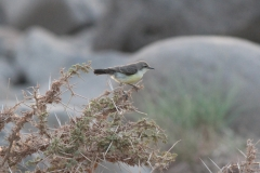 Nile-Valley-Sunbird-female-in-River-bed-near-Chabelley-Airfield-Djibouti-2014-May-a1-cropped