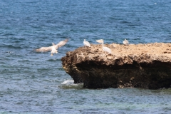 Pinkbacked-pelicans-on-isle-off-Turtle-Island-near-Camp-Lemonier-Djibouti-2014-May-a2-cropped