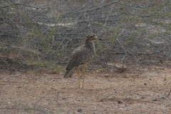 Spotted-thickknee-DECON-sanctuary-S-of-Camp-Lemonier-Djibouti-2014-May-a1-cropped