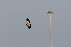 Spurwinged-plover-in-flight-Camp-Lemonier-Djibouti-2014-May-a1-cropped
