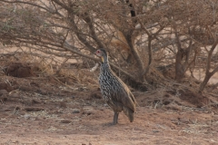 Yellownecked-spurfowl-DECON-sanctuary-S-of-Camp-Lemonier-Djibouti-2014-May-a1-cropped