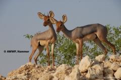 antilope-beira