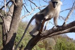 grivet-monkey-2