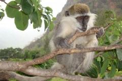 grivet-monkey-3