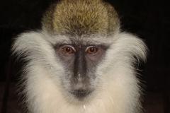 grivet-monkey