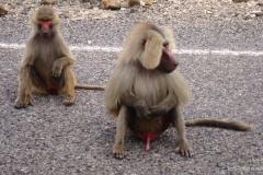 hamadryas-baboon-2