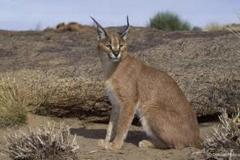 lynx-caracal