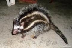 maned-rat
