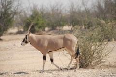 oryx-beisa