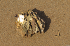 shell_photo_Dove