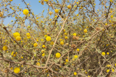 Acacia_constricta_Photo_Russell