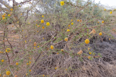 Acacia_constricta_photo_Russell-2