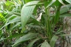 livistona-carinensis-rosette