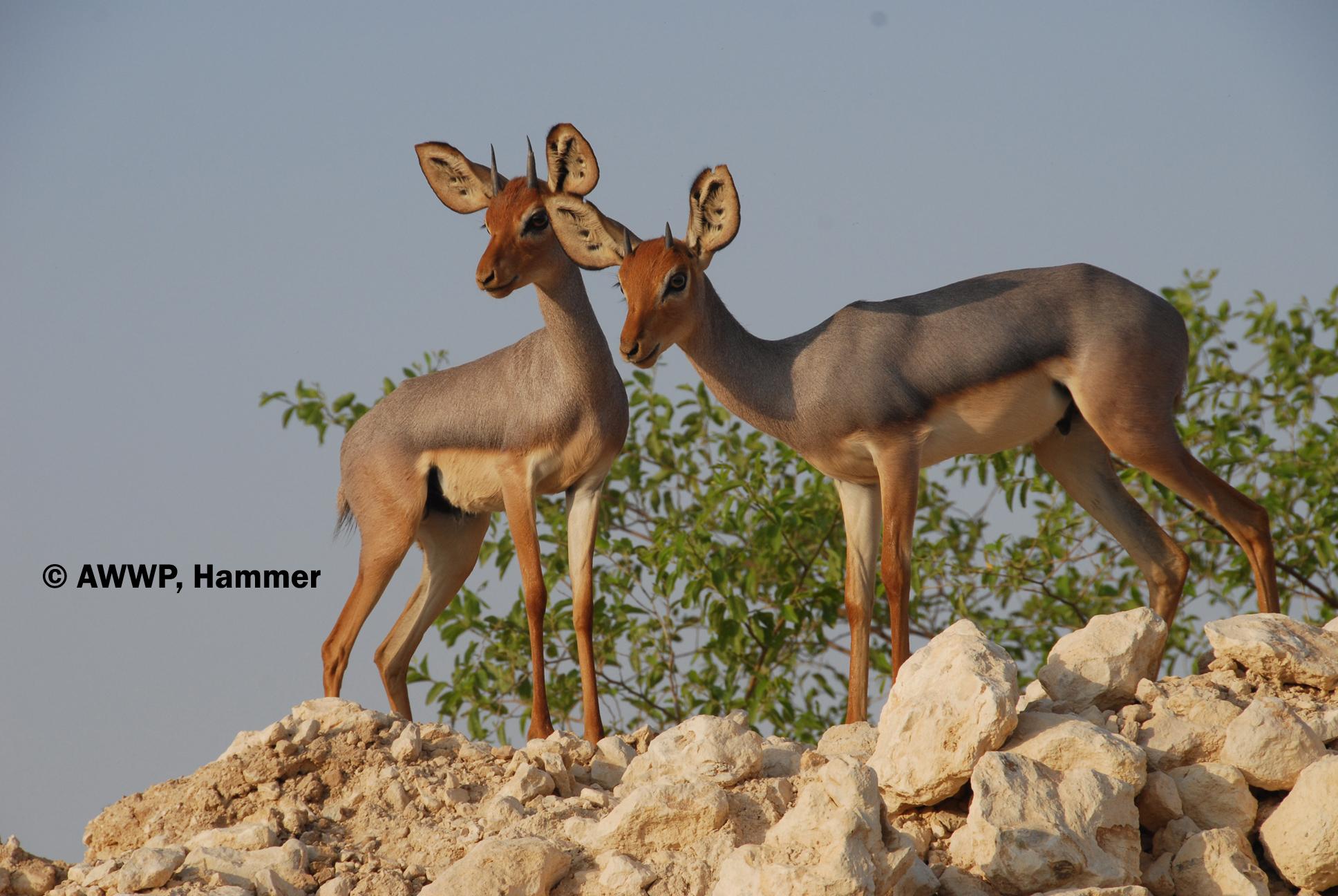 Antilope Beira