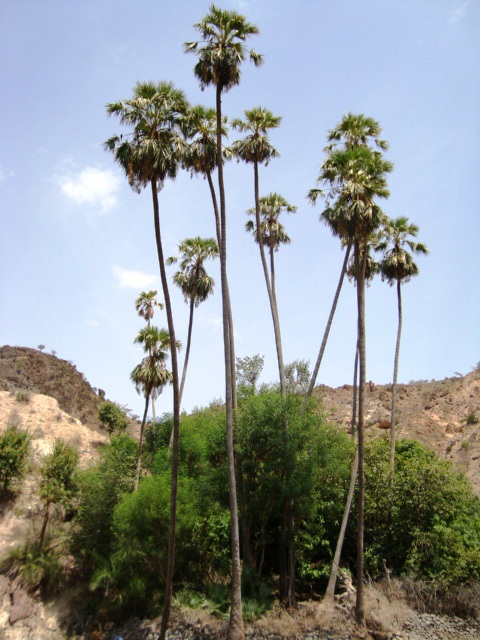 Livistona palm tree